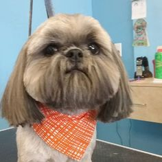 Buster #wagsmytail #tucsondoggrooming #doggroomer A well groomed dog is a well loved dog! Call us today to schedule your dog grooming appointment 520-744-7040