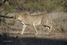 Il  ghepardo con i suoi 110 kmh è l'animale terrestre più veloce...Kruger National Park