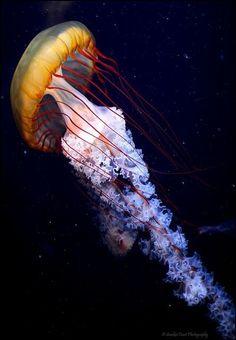 Orange and red jellyfish