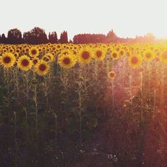 tournesol: literally, to turn toward the sun Sunflower Fields, Sunflower Patch, Field Of Sunflowers, Back To Nature, Mellow Yellow, Pretty Pictures, Life Is Beautiful, Mother Nature, Beautiful Flowers