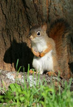 Young Red Squirrel