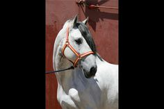 Andalusian stallion Guardadamas