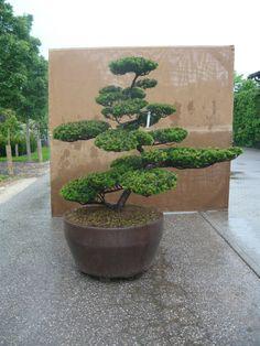 Rooftop Garden, Balcony Garden, Garden Plants, Cloud Pruning, Tree Pruning, Container Plants, Container Gardening, Japanese Garden Landscape, Japan Garden