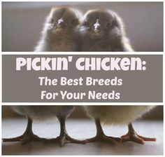 Pickin' Chicken: The Best Breeds for your Needs