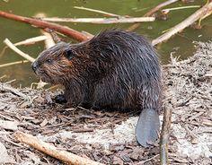 Beaver (Castor Canadensis) in Algonquin Park