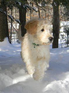 Goldendoodle puppy..  dashing through the snow..