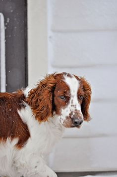 Welsh springer spaniel enjoying the snow got  to have a welshie too!