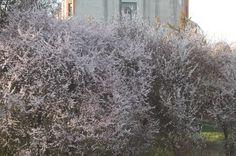 Predivna procvetala drveća ringlova kraj hotela