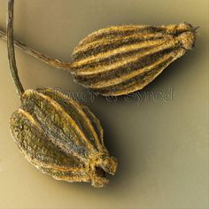 Close up of Anise Seeds (Pimpinella anisum)