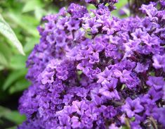 Heliotrope/Heliotropin. Odor profile: almond-smelling, vanilla-like note with very hazy, flou contours, recreated via heliotropin whose odour profile is powdery, like vanilla meringue with a helping of almond. Currently heliotropin is under reduced ratio of use in perfumery, according to IFRA regulations, because safrols in food have been proven to be carcinogenic and hepatotoxic.