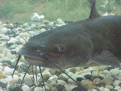 Channel catfish - http://theaquaculturists.blogspot.co.uk/search?updated-max=2013-12-19T05:22:00-08:00&max-results=7&reverse-paginate=true