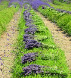 Cut lavender, Provence, France