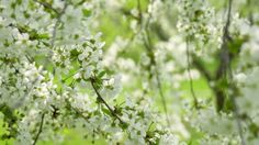 White blooming apple tree branches are swinging in the light breeze in the park on a sunny spring day. Close up view. Slow motion. Filmed at 250 fps - HD stock video clip