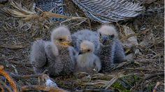 3 mládata Orla bělohlavého v hnízdě. 3 young birds of Eagle