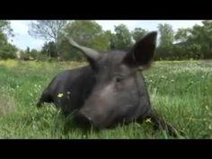 Daisy. Memorias de una cerda ibérica de Cristina Grau es una maravilla. Una alegato en defensa de los animales y la naturaleza que reconforta. No os perdáis el vídeo.