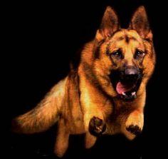 Alsatian or German Shepherd
