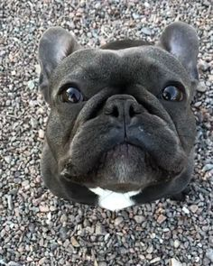 """Acquire terrific ideas on """"French Bulldog Puppies"""". They are accessible for you on our website. Cute French Bulldog, French Bulldog Puppies, Cute Dogs And Puppies, Doggies, Black French Bulldogs, Corgi Puppies, Terrier Puppies, English Bulldogs, Boston Terrier"""