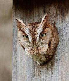 Eastern Screech Owl (Photo by Kurt Hasselman)