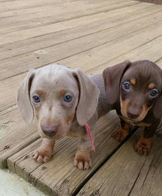 Smooth coat isabella/tan & choc/tan Dachshund puppies :))
