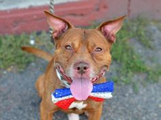DUTCH-A1049627 SUPER URGENT 2 BE DESTROYED 2NIGHT 9/5/15 OR 2MORROW, THERE STILL IS TIME TO SAVE THIS PRECIOUS LIFE! HOW TERRIFIED, HEARTBROKEN N LOST DUTCH MUST BE FEELIN RIGHT NOW, ALL ALONE AWAITING A CERTAIN DEATH AT THIS SHELTER! WE R BEAUTIFUL DUTCH'S ONLY VOICE N HOPE FOR SURVIVAL! WONT U PLEASE MAKE HIS LAST WISH COME TRUE? LOVE, LIFE N A 4EVER HOME! DONT WAIT, THEY WILL KILL HIM! PUBLIC ADOPT!