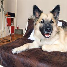 Bank holidays are all about chillin on the couch  #declandog  #couchsurfing #sofasurfer #weloveedinburgh #edinburghdog . . . . #gsdlove #welovedogs #rescueismyfavouritebreed #iadopted #germanshepherdsofinstagram #rescueisbest #rescuedogs #germanshepherd #fluffypack #statelyhound #hund #dogsofig