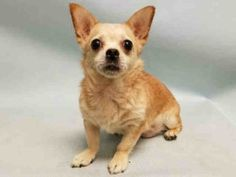 SUPER URGENT 07/30/16 Manhattan Center LINDA – A1083442 FEMALE, BROWN / WHITE, CHIHUAHUA SH MIX, 15 yrs OWNER SUR – EVALUATE, NO HOLD Reason PET HEALTH Intake condition EXAM REQ Intake Date 07/30/2016, From NY 10453, DueOut Date 07/30/2016,