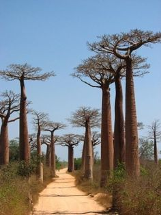 Boabab trees, Madagascar | Most Beautiful Pages by elizabeth