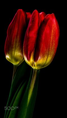 red tulip reflection by Herbert Bräutigam