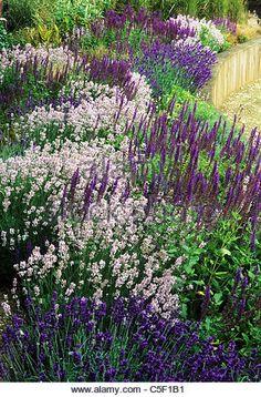 Image result for lavender in flower bed