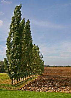 poplar tree pictures   File:Row of Poplar Trees - geograph.org.uk - 242206.jpg - Wikimedia ...