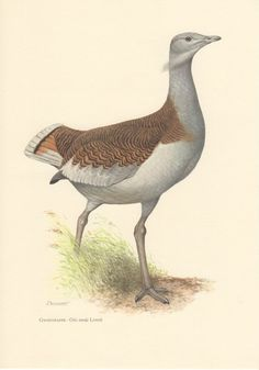1956 Great Bustard Antique Print Vintage Lithograph by Craftissimo, €12.95