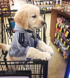 Animals And Pets Dogs Golden Retrievers Cute Little Puppies, Cute Little Animals, Cute Dogs And Puppies, Cute Funny Animals, Baby Dogs, Funny Dogs, Doggies, Poodle Puppies, Chihuahua Dogs
