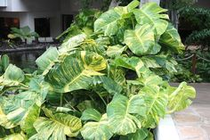 A giant golden pothos vine (Epipremnum Aureum) can grow in a large container filled only with water! These natives of French Polynesia are the giant … Water Garden Plants, Container Water Gardens, Garden Pool, Container Plants, Container Gardening, Pothos Vine, Marble Queen Pothos, Golden Pothos, Plant Catalogs