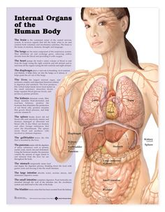 Female human body diagram of organs see more about female human female human body diagram of organs diagram of female body organs human anatomy diagram human anatomy diagram ccuart Images