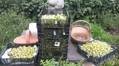 50 KG of Gooseberry's Harvested 17th July 2015