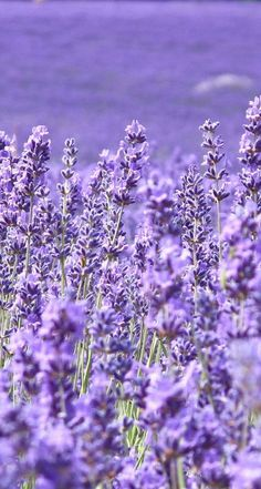 Beautiful Lavender Wallpaper HD Mobile Background