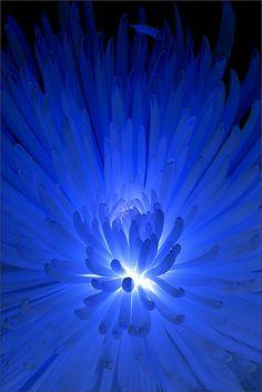 Blue Dahlia on Black Background - ©Bahman Farzad Blue Dream, Love Blue, New Blue, Blue And White, Blue Dahlia, Blue Flowers, Des Photos Saisissantes, Turquoise, Aqua