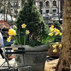Break time. #spring #bryantpark #daffodils #moments #takingtimetopause #justbreathe