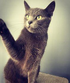 Give me five ✋️�� #bluecat #korat #sisi #queen #highfive #hello #cat #kitty #beauty http://unirazzi.com/ipost/1508119289852800665/?code=BTt6oD2ly6Z