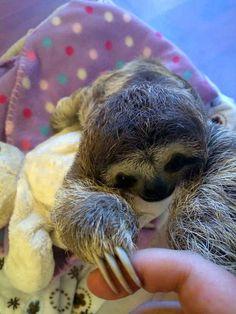 holding on to fingers (eeeeeeee!!!), | Meet Lunita, The Cutest Baby Sloth On Planet Earth