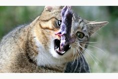 Domestic cats in the United States kill up to 2.4 billion birds and as many as 12.3 billion mammals each year, biologists estimated in a new study