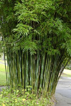One of our favourite bamboo varieties: Bambusa textilis var. gracilis.    Found this image on Flickr - a shot taken at the Sydney Botanic Gardens.  Note that this is clumping and not running bamboo!