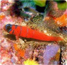 Special needs - Catalina Goby, Bluebanded Goby - Lythrypnus dalli
