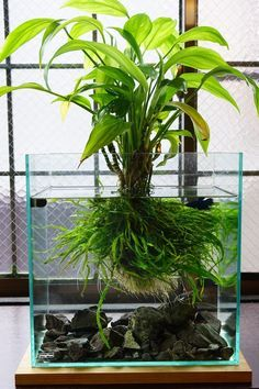 Great Idea, like a Kokedama under water... createing a soil ball and plant it with Java Fern narrow leaf and some papyrus-stile plant...