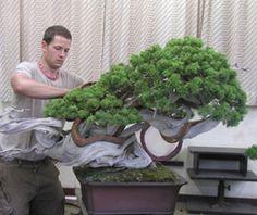 Ryan Neil working on one of Masahiko Kimura's most famous trees
