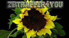 Sonnenblumen Helianthus sunflower Blooming Timelapse Zeitraffer