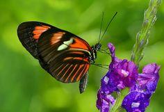 Heliconius Melpomene Butterfly feeding on Purple Porterweed. Fairchild Tropical Botanic Garden - Flickr - Photo Sharing!