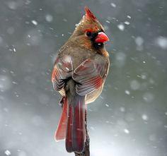 Cardinal ✮ www.pinterest.com/WhoLoves/Animals ✮ #animals