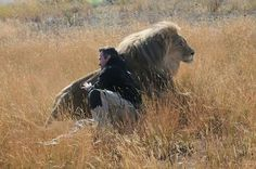 """Kevin Richardson """"The Lion Whisperer"""" rejects the traditional notion that lions…"""