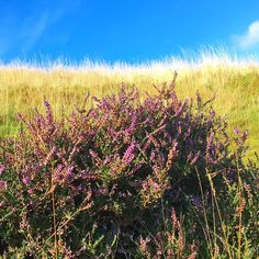 Stop and smell the heather...or at least pause en route to Arthur's Seat to admire its beauty! As #autumn takes over #Edinburgh these pockets of vibrant color are our reminder of a beautiful summer season spent with festivals and picnics stunning sunsets and sudden summer rains. Thanks summer you refreshed my soul!
